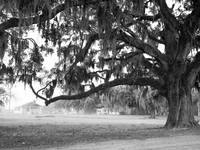 Live Oak at Coosaw Plantation