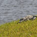 """Young Alligator in Florida"" by kphotos"