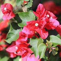 Red Bouganvillea 1