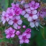 """Pink Flowers"" by Ireece11"