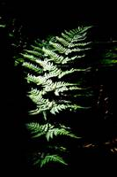 Mid Summer Fern