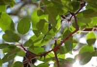 spring Madrone