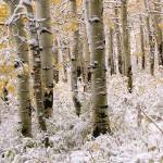 """Aspen Grove In Early Winter Snow"" by dkocherhans"