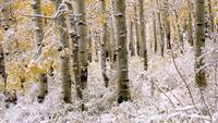 Aspen Grove In Early Winter Snow