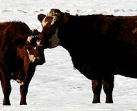 Cows in Winter
