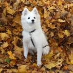"""Eskimo Puppy Playing in the Leaves"" by lehcar1477"