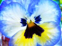 Angelic Pansy