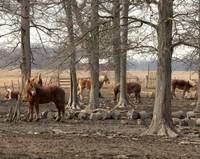 foresthorses