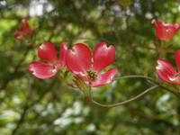 Red Dogwood