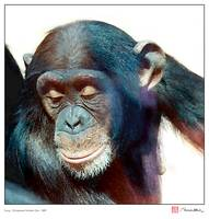 Smug - Chimpanzee Number One