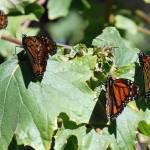 """close up butterflies"" by wmhwilson"