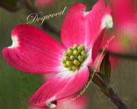 Definition of a Red Dogwood