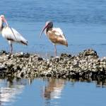 """White Ibis on Osyter Bar"" by DanWest"