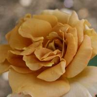 Antique Rose Art Prints & Posters by Cherry Dunn