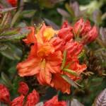 """Blossom of Rich Orange"" by teresaruskowski"