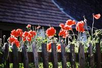 Red poppies in my village