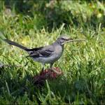 """Mockingbird with Twig"" by kphotos"