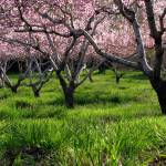 """Peach Orchard In Bloom"" by dkocherhans"