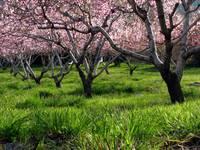 Peach Orchard In Bloom by David Kocherhans