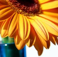 Orange Gerbera Daisy in Blue Vase