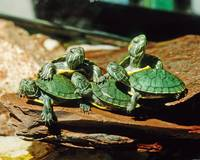 Slider Turtles Pets