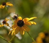 Black-eyed Susan With Bee