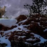"""""""Howling Wolf"""" by SteveHunziker"""