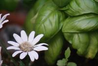 Sprig of Daisy With the Basil