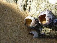 Sand-filled Barnacle Shell
