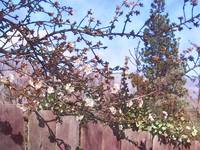 Almond Blossoms Two
