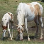 """Wild Chincoteague Pony Mare and Foal"" by wildpony"