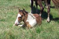 Wild Chincoteague Pony Foal
