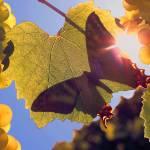 """""""140 Butterfly in Vineyard"""" by willphoto"""