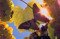 140 Butterfly in Vineyard