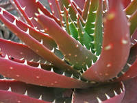 Red-Green Aloe 2