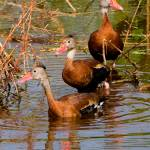 """Blackbelly Whistling Ducks #3"" by DAD"
