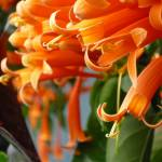 """""""Orange Jubilee"""" by teresaruskowski"""