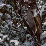 """""""Snowy Owl"""" by SteveHunziker"""