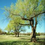 """Stately Oklahoma Tree"" by CatherineDWright"