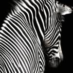 """Black and White Zebra with Black Background"" by walbyent"