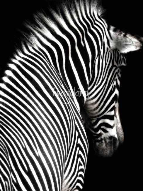 """Stunning """"Zebra"""" Artwork For Sale on Fine Art Prints"""