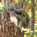 """Squirrel Among Branches"" by LaurieArnold"