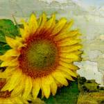 """Tuscan Sunflower"" by tuscan"