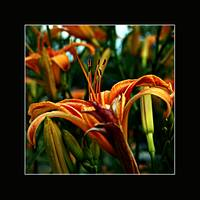 Tiger lily bunch