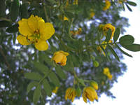 Caesalpinia Mexicana or Cassia 2