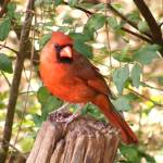 """Red Male Cardinal"" by LaurieArnold"