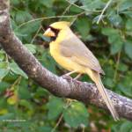 """Yellow Cardinal"" by LaurieArnold"