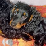 """Longhair Dachshund Dog"" by kphotos"