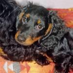"""""""Longhair Dachshund Dog"""" by kphotos"""