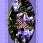 """Hummingbird Moth and Penstemmon Flowers"" by eye4nature"